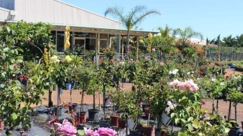 Café Bloom at Roworth's Rose Nursery